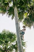 Sugar Palm, Kamphong Chhnang, Tonle Sap River,  Cambodia