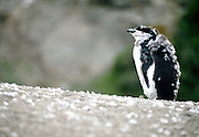 Chinstrap penguin, Antarctic Peninsula, Antarctica