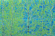Trembling aspen foliage in spring. Simon Lake Park Conservation Area. <br /> <br /> Ontario<br /> Canada