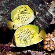 Speckled Butterflyfish inhabit reefs. Picture taken in Fiji.