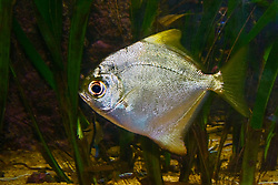 silver moony, fingerfish, finger fish or Malayan angel, Monodactylus argenteus, freshwater tidal zone, blackish water or saltwater, Indo-West Pacific Ocean (c)