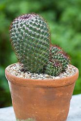 Mammillaria kewensis - cactus
