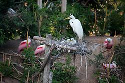 Snowy Egret (Egretta thula) perching on nest with chicks.