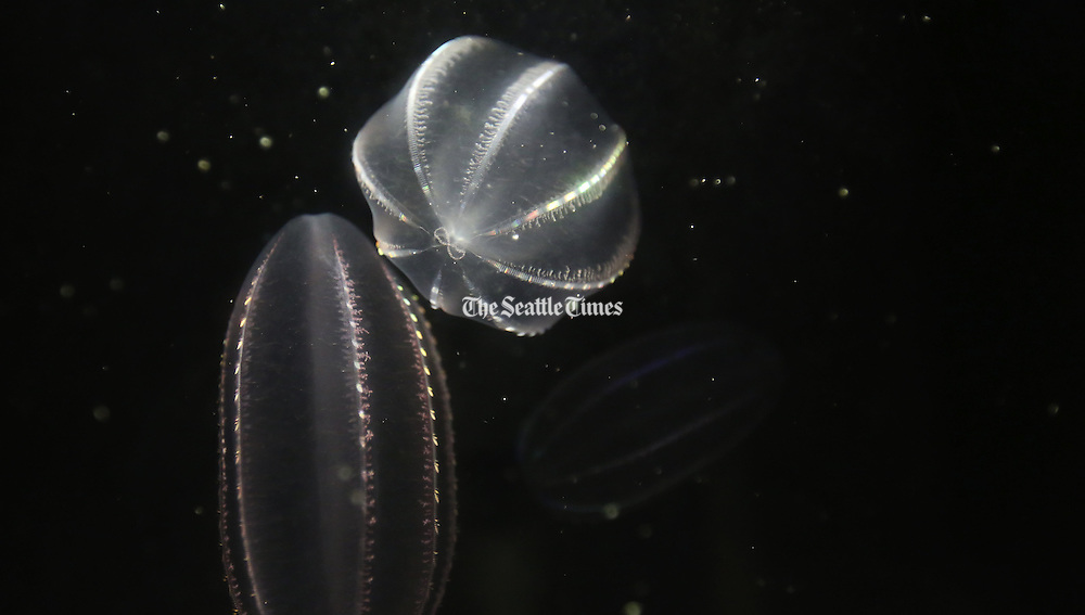 Comb jellyfish in their tank behind the scenes at the Point Defiance Zoo & Aquarium. They inhabit Puget Sound; these were netted at the ferry dock in Tacoma.<br /> Alan Berner / The Seattle Times