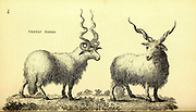 Cretan Sheep from General zoology, or, Systematic natural history Vol II Part 2 Mammalia, by Shaw, George, 1751-1813; Stephens, James Francis, 1792-1853; Heath, Charles, 1785-1848, engraver; Griffith, Mrs., engraver; Chappelow. Copperplate Printed in London in 1801 by G. Kearsley