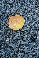 A single golden yellow aspen leaf covered in dew lies on a slab of granite in Utah's Little Cottonwood Canyon after falling to the ground.