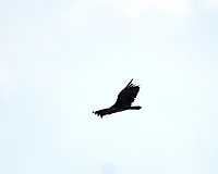 Turkey Vulture. Image taken with a Nikon D3s camera and 600 mm f/4 VR lens with a 2.0x TCE-II teleconverter