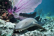 nurse shark, Ginglymostoma cirratum, rests on bottom next to purple sea fan, Little Bahama Bank, Bahamas ( Western Atlantic Ocean )