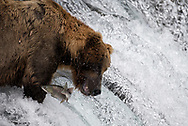 """A brown bear know as """"775"""" or """"Lefty"""" just misses a sockeye salmon as it leaps the falls on the Brooks River in Katmai National Park, Alaska."""