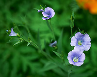 Blue Flax flowers. Image taken with a Leica SL2 camera and 24-90 mm lens.