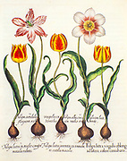 Hand painted copperplate print of various tulips from Hortus Eystettensis a codex produced by Basilius Besler in 1613 of the garden of the bishop of Eichstätt in Bavaria.