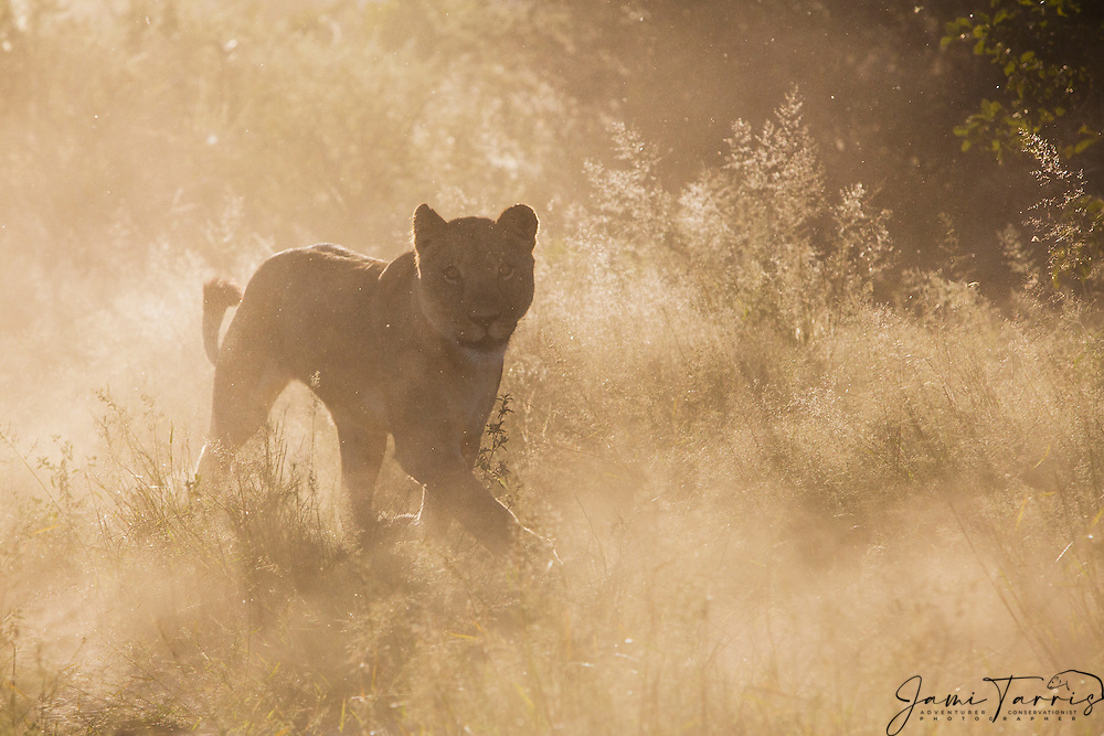 A young lioness (Panthera Leo) moving backlit in thick desert dust, Kalahari Desert, Botswana, Africa