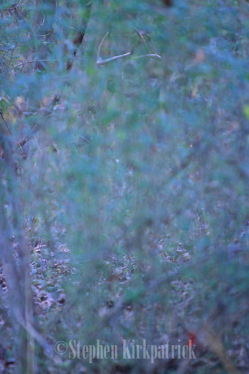 White-tailed deer buck is hard to distinguish in thick brush - Mississippi.