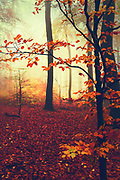 Foggy forest on an autumn morning with trees and ground in fall colours<br /> Redbubble Prints and more--> https://www.redbubble.com/shop/ap/57339424?asc=u