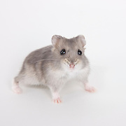 Russian Dwarf Hamster photographed while waiting for adoption.  Pet photography by Michael Kloth.