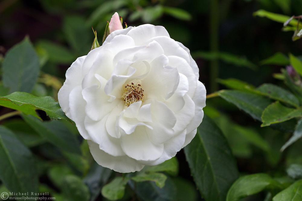 A climbing rose 'White Dawn' flower