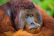 A close-up of a dominant male orangutan (Pongo pygmaeus) face as he looks down at his own lips while sticking them out, Borneo, Indonesia