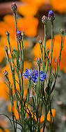 Vertical of blue cornflower and buds against a field of orange poppies