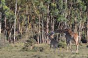 A herd of Giraffes at Lake Naivasha, Kenya