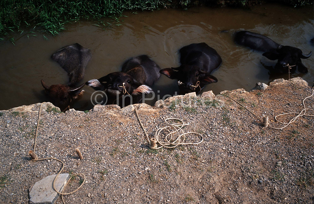 Water buffalos cool off in a roadside pond near Guilin, Guangxi Province, China on 19nOctober, 2008.  .