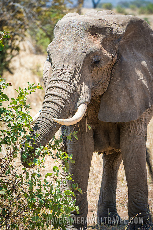 An adult elephant eats the branches of a tree at Tarangire National Park in northern Tanzania not far from Ngorongoro Crater and the Serengeti.