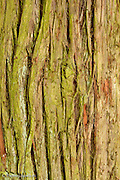 Bark of Red Cedar