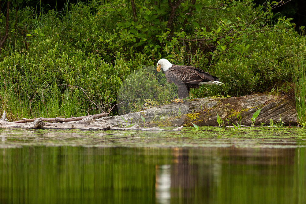An American Bald Eagle guards a fish caught in Trout Lake in the Northwoods village of Boulder Junction, Wisconsin.