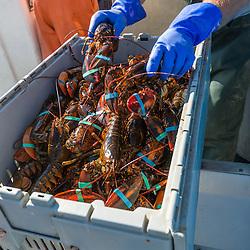 Sorting lobsters at the Tenants Harbor Fisherman's Coop in Tenants Harbor, Maine.