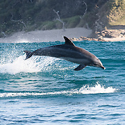 Indo-Pacific bottlenose dolphin surfing the swells in South Africa. Tursiops aduncus