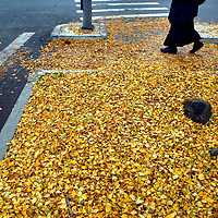 """Leaves from a ginkgo tree cover the ground as a pedestrian makes his way through  downtown Santa Cruz. Ginkgo biloba, commonly known as ginkgo or the maidenhair tree, is the only living species in the division Ginkgophyta, all others being extinct. It is found in fossils dating back 270 million years. Native to China, the tree is widely cultivated, and was cultivated early in human history. It has various uses in traditional medicine and as a source of food. The genus name Ginkgo is regarded as a misspelling of the Japanese gin kyo, or """"silver apricot"""".<br /> Photo by Shmuel Thaler <br /> shmuel_thaler@yahoo.com www.shmuelthaler.com"""