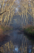 Alder trees along Willow Creek, a tributary of the Russian River in Sonoma Coast State Park, Jenner, California