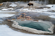 A bison passes between Heart Spring and Lion Geyser.