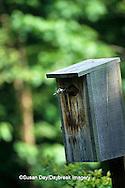 00715-00208 Wood duck (Aix sponsa) female at nest box    IL
