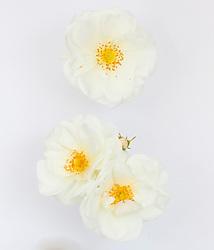 Rosa 'Flower Carpet White'