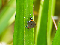 Fulvous hairstreak resting on a palmetto frond in the CREW Marsh Hiking Trails in Collier County, Florida. This is one of the most beautiful of all the hairstreaks!