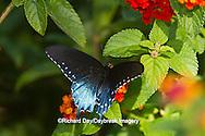 03004-01319 Pipevine Swallowtail butterfly (Battus philenor) male on Red Spread Lantana (Lantana camara) Marion Co., IL