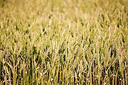 Wheat field near Swinbrook in The Cotswolds, Oxfordshire, UK