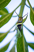 Monarch caterpillar on a milkweed plant utilizing its sensitive antennae to navigate and help direct food into its jaws. Varieties of milkweed vary from zone to zone. Pictured here is A. curassavica and is planted frequently in areas along the Gulf Coast.