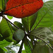 Central America, Centro America, Latin America, Latin, tropical, Costa Rica, Puerto Viejo, Caribbean, Manzanillo Wildlife Refuge, Manzanillo, Lush tropical foliage in the Manzanillo Wildlife Refuge, Costa Rica.
