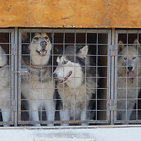 Dogs are seen in a kennel after a dogsled Race in Paty, Hungary on Nov. 7, 2020. ATTILA VOLGYI