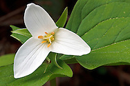 A Western Trillium (Trillium ovatum) flower at Campbell Valley Park in Langley, British Columbia, Canada