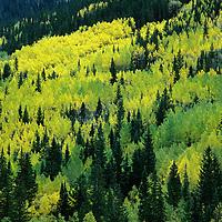COLORADO, Fall colored aspens above Ouray (San Juan Mts.)