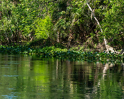 Crystal clear water and dense vegetation along the Silver River in Ocala Florida.