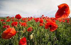 THEMENBILD - Der Klatschmohn (Papaver rhoeas), auch Mohnblume oder Klatschrose genannt, ist eine Pflanzenart aus der Familie der Mohngewächse. Hier im Bild Klatschmohnfeld, Aufgenommen am 19.05.2013 in Jois // THEMES IMAGE - Papaver rhoeas (common names include corn poppy, corn rose, field poppy, Flanders poppy, red poppy, red weed, coquelicot, and, due to its odour, which is said to cause them, as headache and headwark) is a species of flowering plant in the poppy family. In this Image Poppy Field, pictured on 2013/05/19. EXPA Pictures © 2013, PhotoCredit: EXPA/ Johann Groder