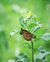 Monarch Butterfly Laying Eggs on a Milkweed Plant. Image taken with a Leica SL2 camera and 90-280 mm lens
