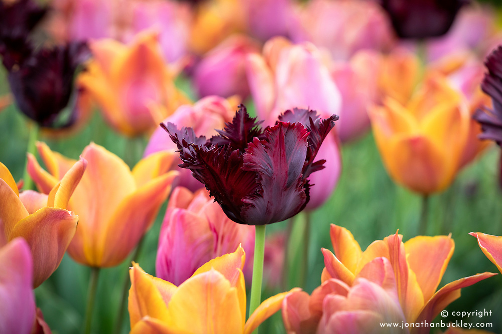 Tulipa 'Black Parrot' amongst T. 'Request' and 'Bruine Wimpel'