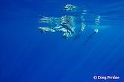 Hawaiian spinner dolphins or Gray's spinner dolphin, Stenella longirostris longirostris, off Kekaha Kai State Park, North Kona, Hawaii ( the Big Island ), USA ( Central Pacific Ocean )
