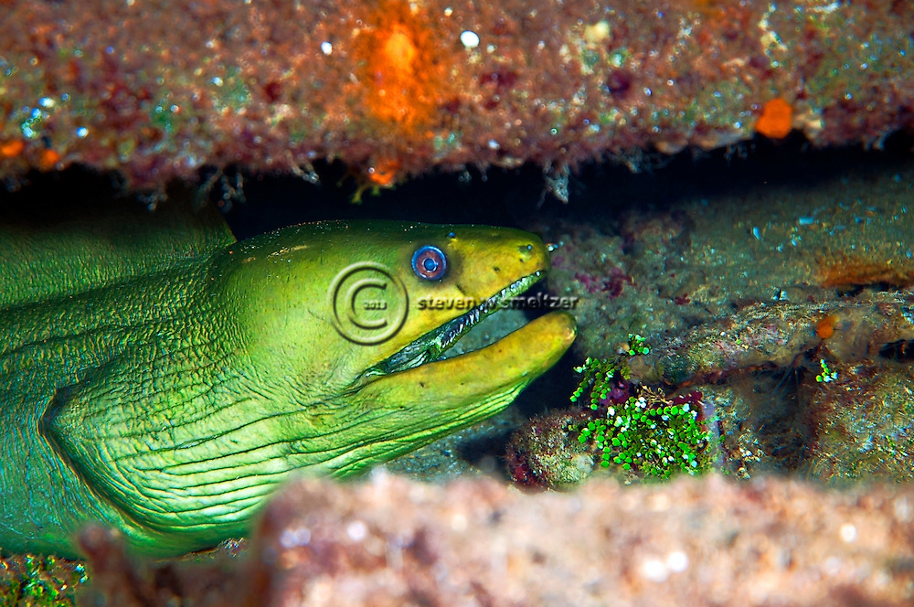 Green Moray Eel in Oro Verde wreck, Gymnothorax funebris, Ranzani, 1840, Grand Cayman