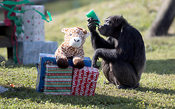 December 20, 2017 - Loxahatchee, Florida, U.S. - Lion Country Safari's 16 chimpanzees were treated to gifts during the 33rd annual Christmas with the Chimps in Loxahatchee, Florida on December 20, 2017.  This years Christmas with the Chimps was dedicated to Little Mama the 79-year-old chimpanzee who passed away in November. The park's chimpanzees received gifts including edible treats, stuffed animals, clothes and enrichment-themed activities. ''Chimpanzees are extremely intelligent. They recognize that the gathering crowd of guests signals that Santa is on his way. They also read human emotions very well, and react to the excitement and anticipation of our guests. The whole day is really very enriching for them,'' says Primate Curator Tina Cloutier Barbour. Over the 33 years, it has developed into a community event and this year featured the Cypress Trails Elementary School's ''Singing Lions'' chorus. This is the only event where guests are permitted out of their vehicles. (Credit Image: © Allen Eyestone/The Palm Beach Post via ZUMA Wire)