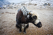 A yak in a snow storm in Gorak Shep, the last trekker lodges before Everest Base Camp, in the Khumbu, Sagarmatha National Park, Himalaya Mountains, Nepal.